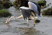Heron fishing — Stock Photo