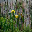 Wild yellow lilly — Stock Photo