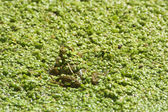 Frog 8 — Stock Photo