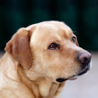 Portrait of a dog - Labrador Retriever — Stock Photo