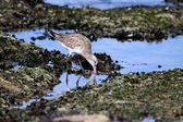 Sea bird looking for worms — Stock Photo