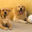 Labrador versus golden — Stock Photo #34521593
