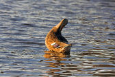 Yaban ördeği — Stok fotoğraf
