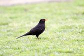 Siyah kuş — Stok fotoğraf