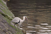 Heron eating — Stock Photo