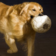 Stock Photo: Retriever