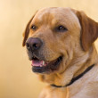 Nino the labrador — Stock Photo