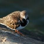 Turn stones bird — Foto de Stock