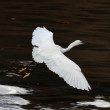 Egret — Stock Photo #34872187