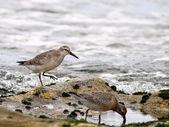 Shorebirds - Sea birds — Stock Photo