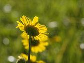 黄色的花朵背景 — 图库照片