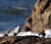 Little sea birds — Stock Photo