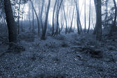 Mysterious pine woods — Stock Photo