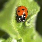 Ladybug — Stock Photo