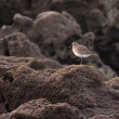 Stock Photo: Little sebird - shorebird
