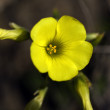 Little yellow flower — Stock Photo
