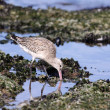 Stock Photo: Shorebird - sebird