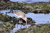 Shorebird - sea bird — Stock Photo