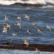 Shorebirds flight — Stockfoto