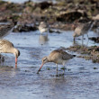 Shorebirds - Sea birds — Stock Photo