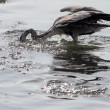 Heron assault — Stock Photo