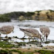Stock Photo: Shorebird - sebirds