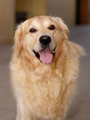 Portrait of a Golden Retriever — Stock Photo