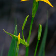 Blossom - Wild yellow lilly bud — Stock Photo