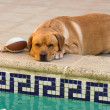 Labrador retriever resting — Stock Photo