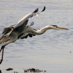 Heron in flight — Stock Photo