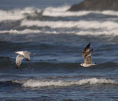Seagulls in action — Stock Photo