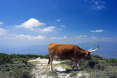 Mountain cow — Stock Photo