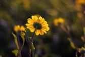 Gula blommor bakgrund — Stockfoto