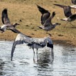 Big Heron irritated — Stock Photo