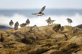 Little sea birds - shorebirds — Stock Photo