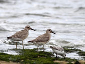 Low tide birds — Stock Photo