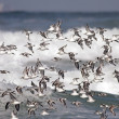 Flock of sea birds flight — Stock Photo