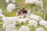 Bumblebee sucking pollen — Stock Photo