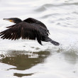 Great cormorant takeoff — Stock Photo