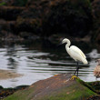 Egret — Stock Photo #36090705