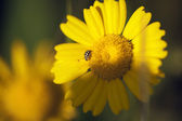 Little yellow ladybug — Stock Photo
