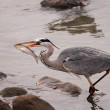 Heron fishing fish — Stock Photo
