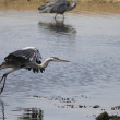 Heron hovering — Stockfoto