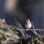 European Goldfinch — Stock Photo #36264525