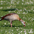 Detailed photo of the egyptian goose — Stock Photo