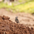 Starling and manure — Stock Photo