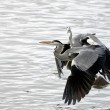 Herons fight — Foto de Stock
