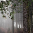 Постер, плакат: Rainy and foggy pine woods