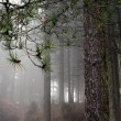 Rainy and foggy pine woods — Foto Stock