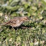 Wild birdie — Stock Photo #36465371